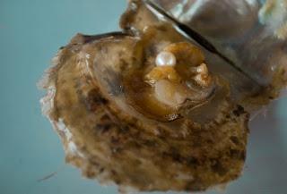 pérola de ostra algarvia