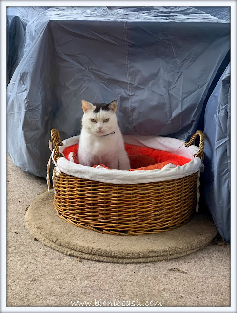 Smooch Loves His Basket ©BionicBasil® The Pet Parade 380