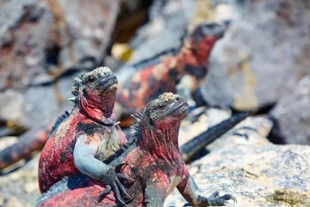 iguana-rosada-extincion