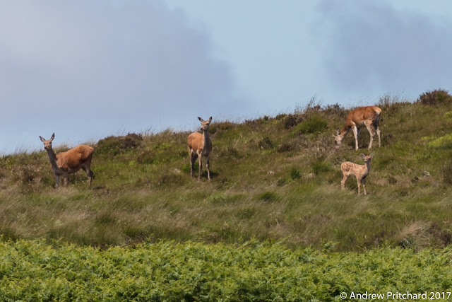 A group of deer stand in the grass on a hillside above some bracken,  looking to their right at something.