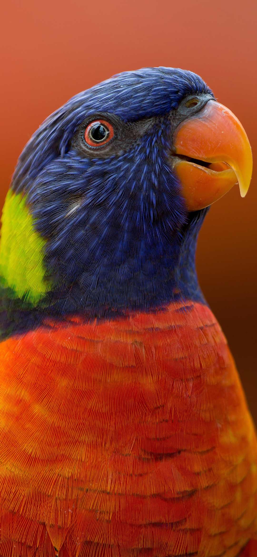 خلفية الببغاء الصغير أزرق الرأس برتقالي الصدر بخلفية برتقالية