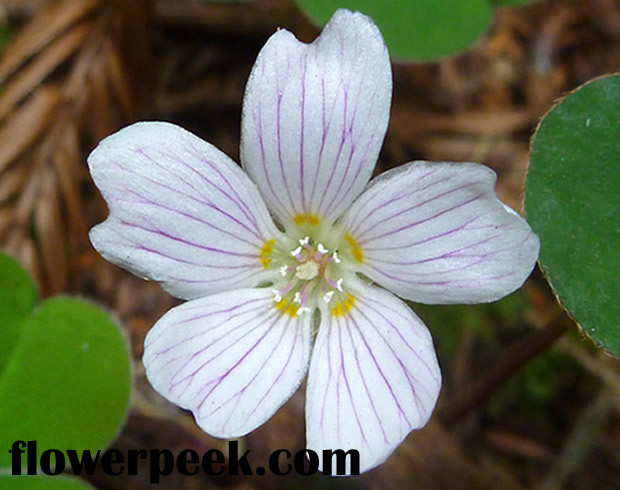 How to grow and care for Redwood Sorrel plants