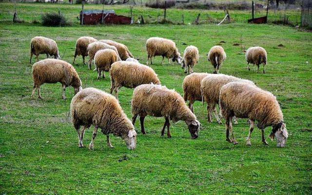 Σύνδεσμος Ελληνικής Κτηνοτροφίας: Πάνω από  4.000 αιγοπροβατοτρόφοι περιμένουν την ενίσχυση λόγω του Covid-19