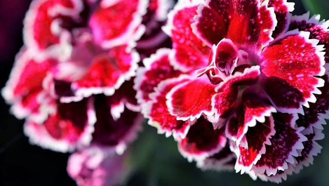 Sowing and planting of the carnation