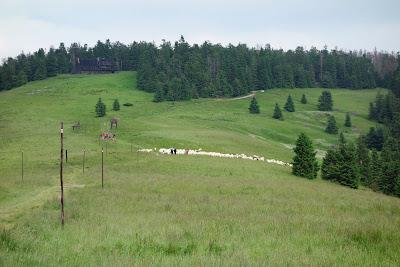 Owce na Hali Długiej