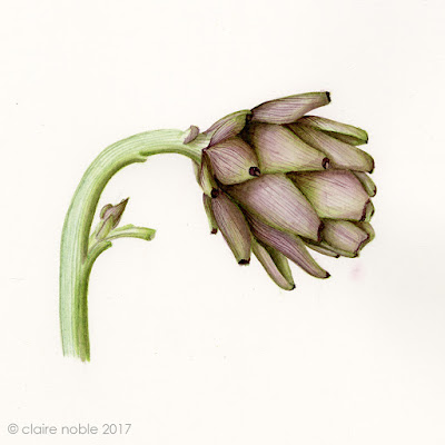 Artichoke botanical watercolour painting by Claire Noble