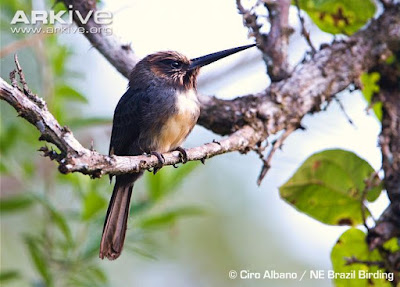 Three toed Jacamar