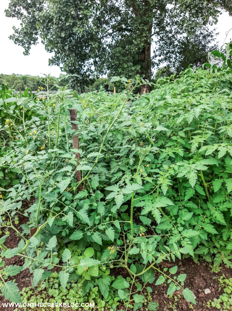 using a single stake to support a tomato plant   On The Creek Blog // www.onthecreekblog.com