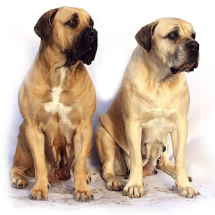 Sarabi Mastiff Dog Breed