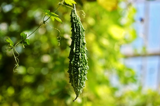 Bitter gourd and its juice health benefits