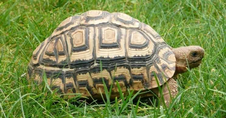 Kaplumbağaların kabuklarında bulunan desenler vücut ısılarının sıcaklıklarıyla alakalıdır.