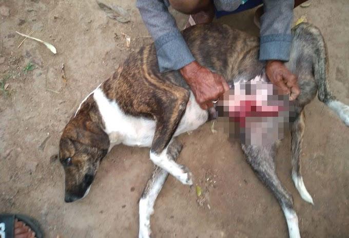 Cadela precisa de cirurgia após ser esfaqueada em Jacobina