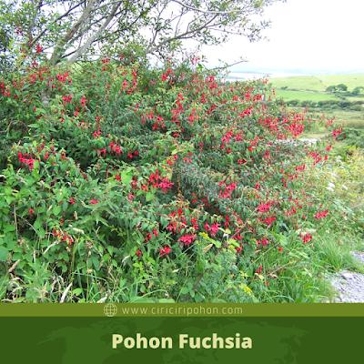 Ciri Ciri Pohon Fuchsia