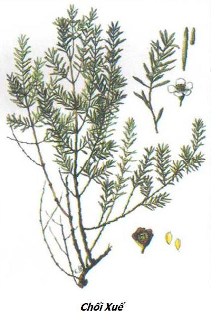 Hình ảnh Cây Chổi Xuể (Chổi Sể) - Baeckea frutescens - Nguyên liệu làm thuốc Chữa Cảm Sốt