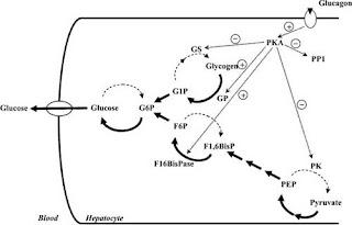 Glucagon promotion of glycogenolysis