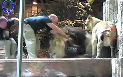 Female lion saved human from male lion