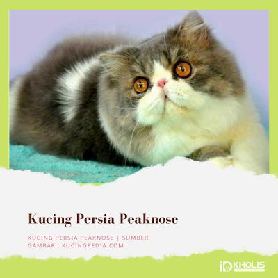Jenis Kucing Persia Peaknose