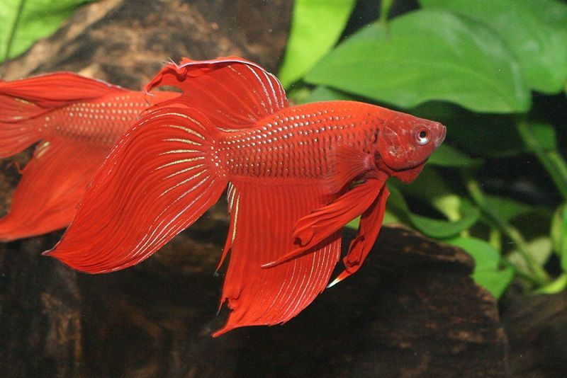 Imagge Red Betta Fish Names 1