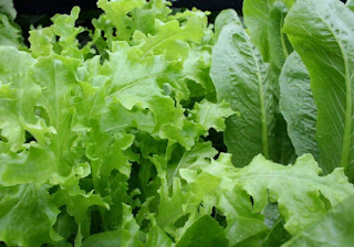 Leafy Greens (including spinach)