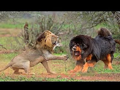 Chó ngao Tây tạng đấu với chó trụi lông