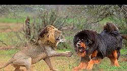 Chó ngao Tây tạng đấu với 'chó trụi lông'