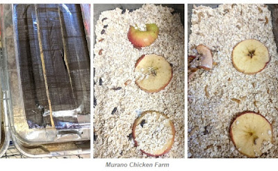 Mealworm farm setup for chicken feed