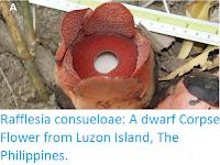 https://sciencythoughts.blogspot.com/2016/02/rafflesia-consueloae-dwarf-corpse.html