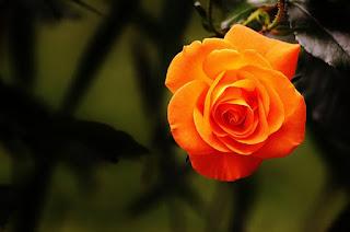 gambar mawar orange