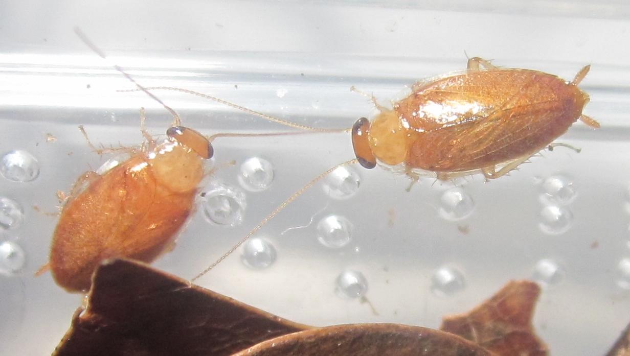 Plectopterapoeyi%25232.JPG