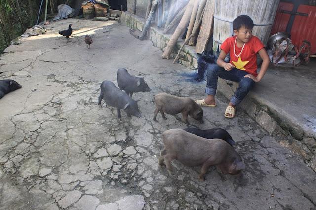 Sa Pa Wild Pigs
