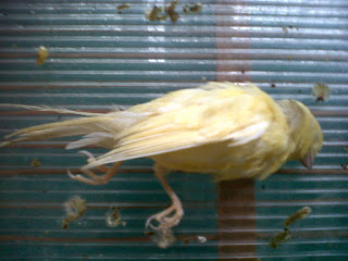 Kutu Burung - Cara Mencegah Kutu Burung Menyerang Burung Kenari Kesayangan - Solusi Penangkaran Burung Kenari