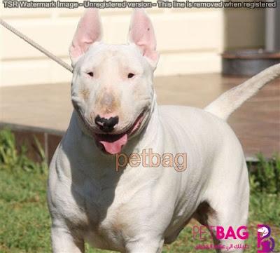 كلب بول تيرير