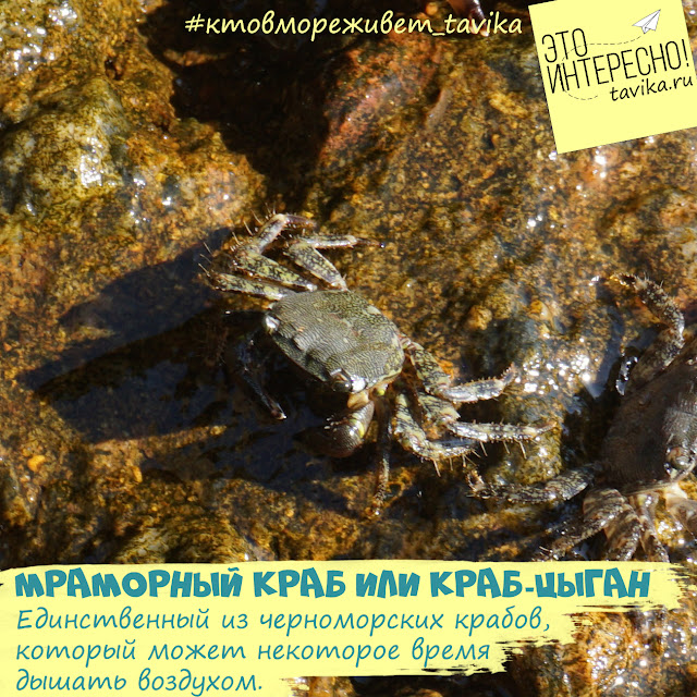 мраморный краб в Черном море