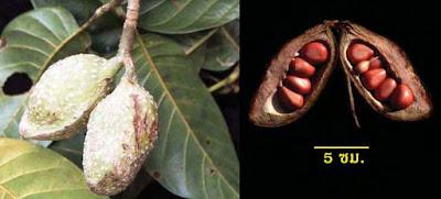 จำปีช้าง ไม้ดอกหอมถิ่นเดียวของไทย ผล/ฝักใหญ่ที่สุดในสกุลจำปี ดอกหอมแรง