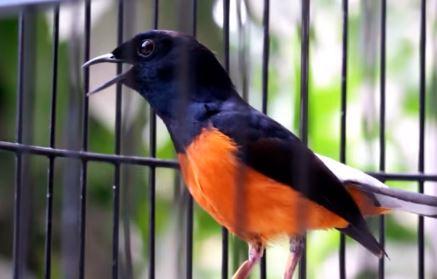 Download Suara Burung Murai Batu Mp3 Dengan Durasi Panjang