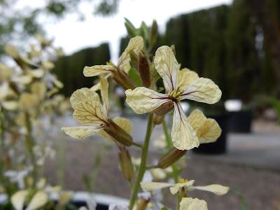 """alt=""""Eruca vesicaria"""""""