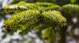 Kayu daun jarum merupakan kayu yang memiliki struktur homogen. Kayu daun jarum juga sering dikenal dengan sebutan kayu lunak atau kayu konifer. Selanjutnya struktur kayu daun jarum secara umum terdiri dari sel-sel yang bersifat prosenkim, sel-sel yang besifat parenkim, penoktahan silang jari-jari (crossfild), saluran damar normal, saluran luka, dan kristal (Pandit & Ramdan, 2002).