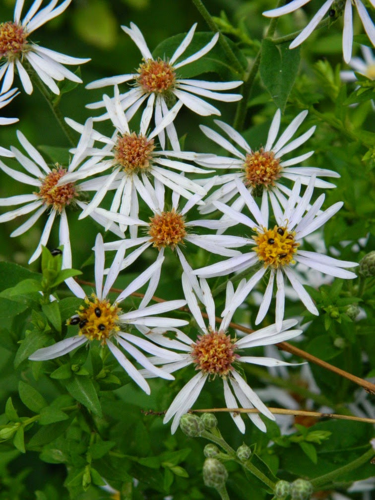 Symphyotrichum ontarionis Ontario aster by garden muses-not another Toronto gardening blog