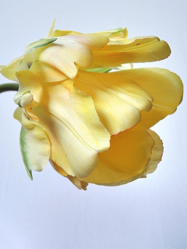 """In mijn tuintje: mijn favoriet van afgelopen lente: de Japanse tulp """"Akebono"""""""