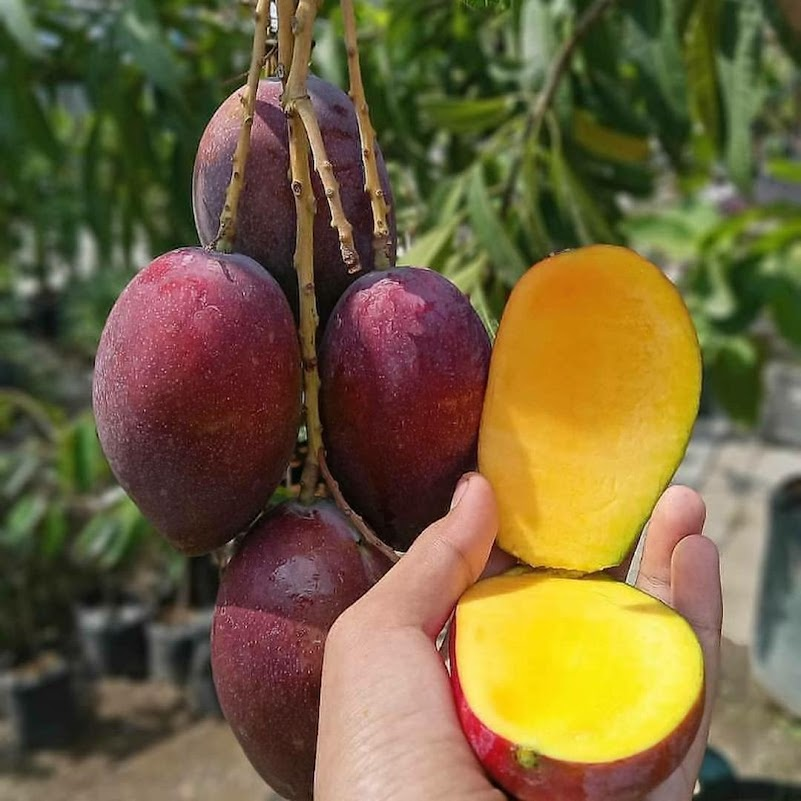 bibit buah mangga irwin Bandung