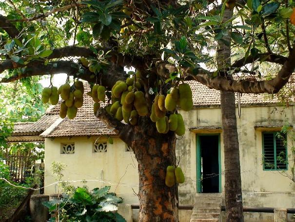 Arunachala Land Jackfruit Tree