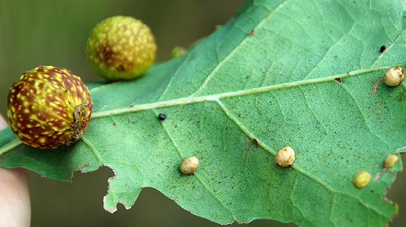 Phylloxera galls enclose and shield the insects as they mature