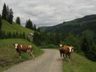 Free roaming cattle on the road, Switzerland