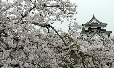 Sakura no Castelo de Hikone