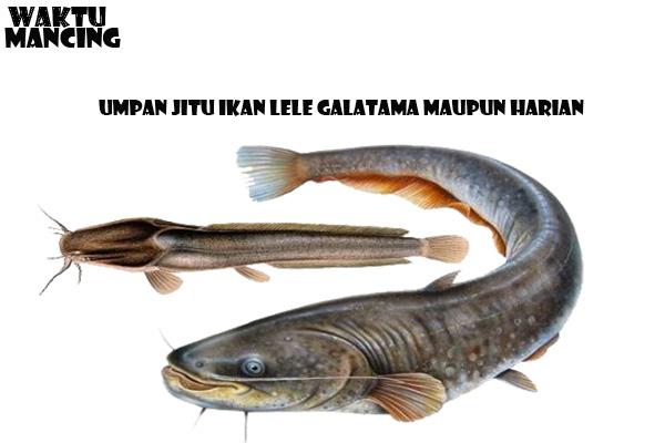 Daftar Umpan Jitu Ikan Lele Galatama Maupun Harian