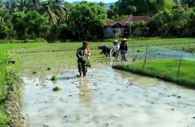 Tingkatkan Ketahanan Pangan di Masa Pandemi, Babinsa Ini Terjun ke Sawah Bantu Petani