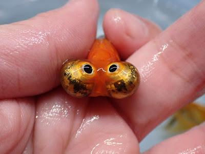 朝天眼,頂天眼,朝前眼,望天眼,朝天龍,金魚