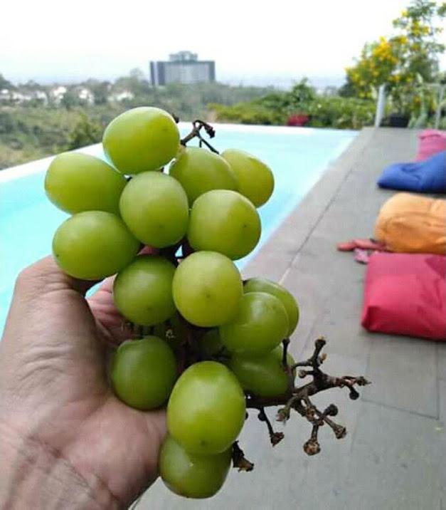 entres anggur import 3 matun Sulawesi Utara