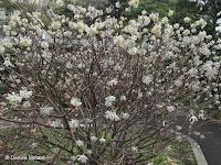 Oriental paperbush in bloom - Tokyo Imperial Gardens, Japan