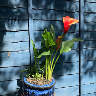 An orange calla lily in a glossy blue pot, against a blue-painted fence.